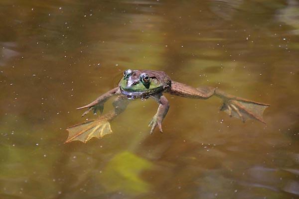 American bullfrog Lithobates catesbeianus