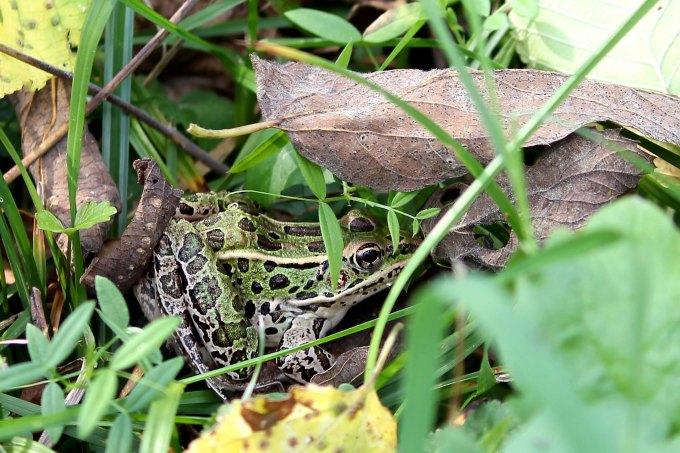 Northern leopard frog Lithobates pipiens