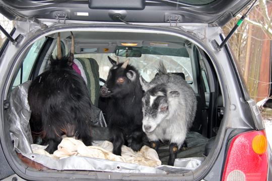 Goat Car