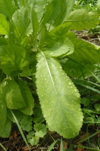 Costmary, an herb