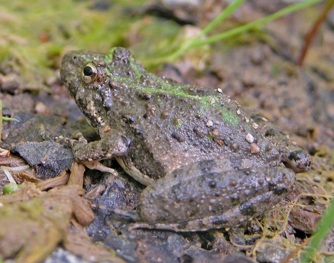 Blanchard's cricket frog Acris crepitans blanchardi
