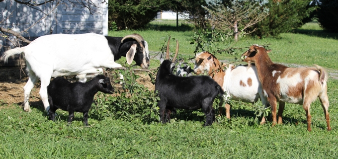 The gang of goats