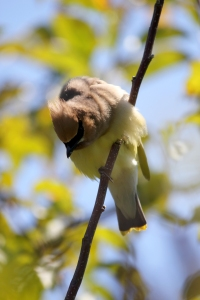 accusing waxwing