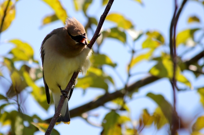 calling waxwing