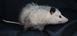 No Name Opossum
