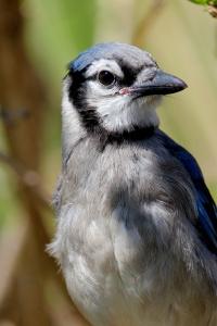 jay bird 2