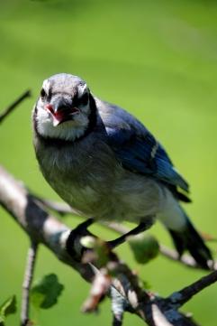 jay bird 3