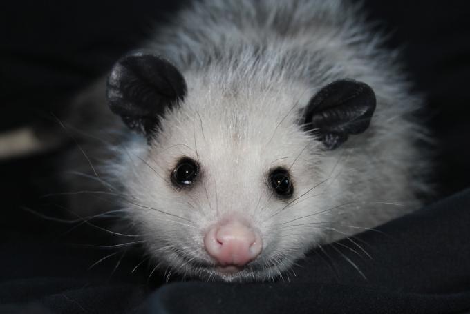 No Name Opossum