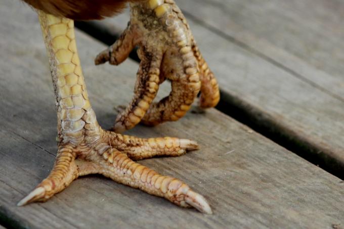 chicken feet 3