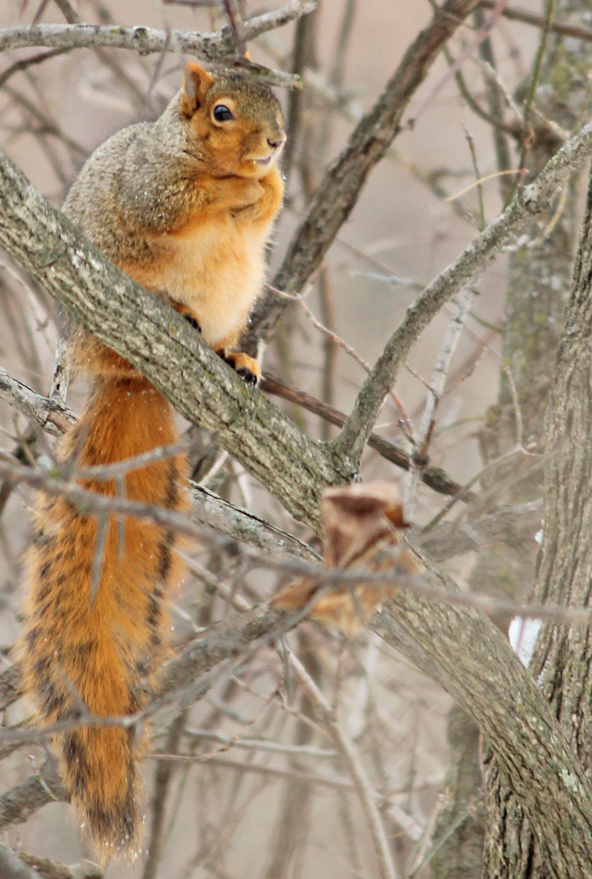 Fox Squirrel Sounds