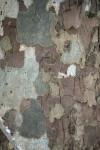 sycamore bark