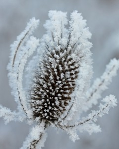 frosted wild teasel