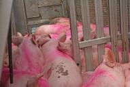 Pigs 7