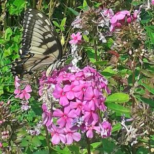 Tiger swalltowtail
