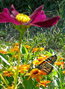 Monarch under cover