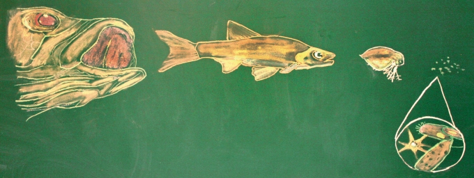 A chalk board rendering on the Lake Erie food chain, discovered in a lab at OSU's Stone Lab