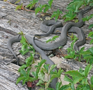 Water snakes in the sun on an old Gibraltar Island dock
