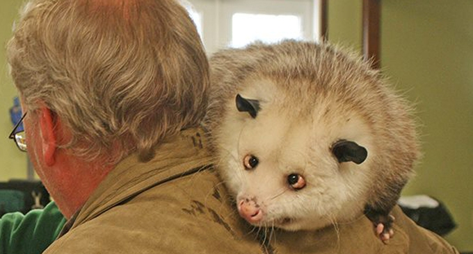 Captain John Smith, ambassador for Virginia opossums everywhere, made his last public appearance at the Delphos Public Library on Nov. 19.