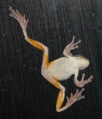 Gray tree frog, its sticky toes keeping it five feet above the ground